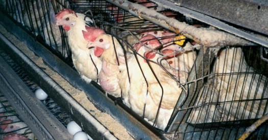 A dozen eggs from cage-free chickens typically cost at least a dollar more than conventional eggs. (mercyforanimals.org)