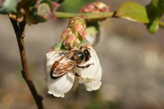 A collaborative effort is under way to protect honeybees. (ncdag.gov)