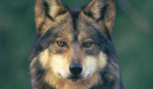 The endangered Mexican gray wolf could eventually roam north of Interstate 40 after a judge ruled the current territory boundaries do not ensure long-term survival. (biologicaldiversity.org)