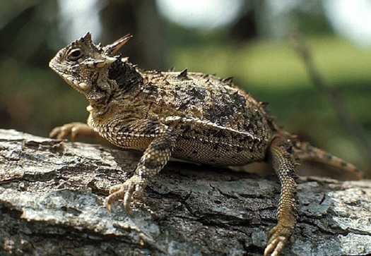 "The Texas Horned Lizard, also called a ""horny toad,� is one of 1,310 species at risk of becoming extinct in the state. (Texas Parks and Wildlife)"