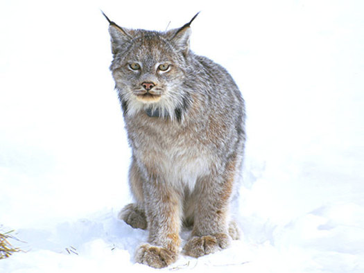 By the late 1970s, not a single Canada lynx was found in Colorado. Today, after two decades of work, more than 200 live in the state. (Pixabay)