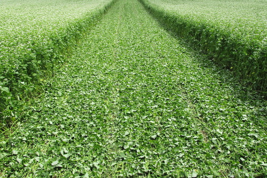 An Iowa study says grazing cattle on cover crops can put up to $60 per acre in a farmer's pocket. (michaelfields.org)