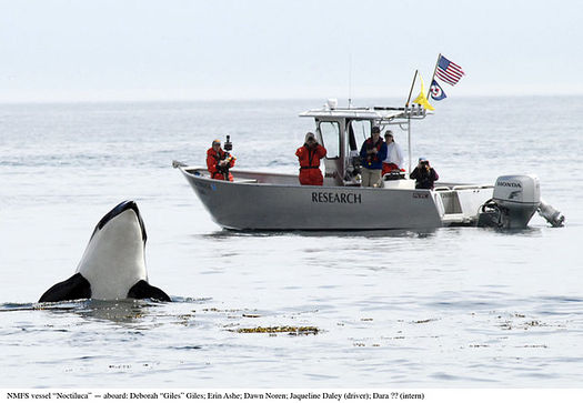There are only 76 killer whales left in the Northwest's iconic Southern Resident population. (NOAA/Wikimedia Commons)