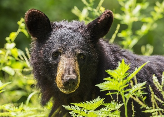 It is illegal to intentionally feed a bear, as it conditions the bear to look for food among humans.(Skeeze/Pixabay)