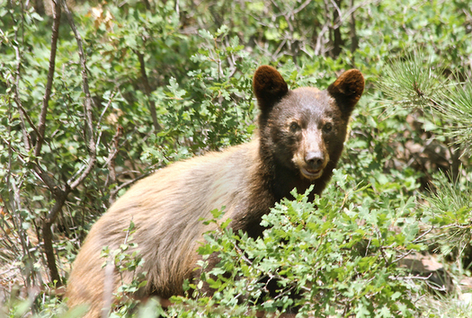 "New Mexico's Game and Fish Department warns residents that ""a fed bear is a dead bear."" (newscenter.nmsu.edu)"