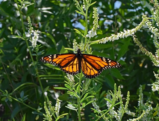 The population of America's most well-known butterfly has declined by 90 percent in the past 20 years. (Pixabay:leoleobobeo)