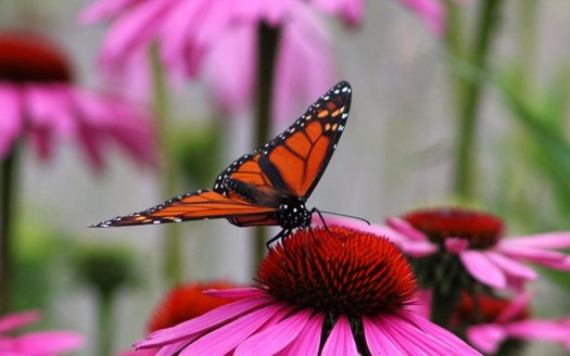 Public comments are being solicited through May 31 on a draft conservation plan to reverse the decline of the eastern monarch butterfly population. (David P. Whelan/Morgufile)