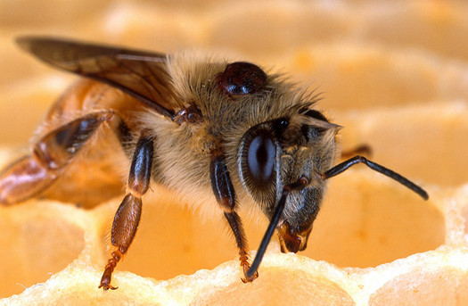 The average worker bee produces only about one-twelfth teaspoon of honey in its lifetime. (U.S. Dept. of Agriculture/Flickr)