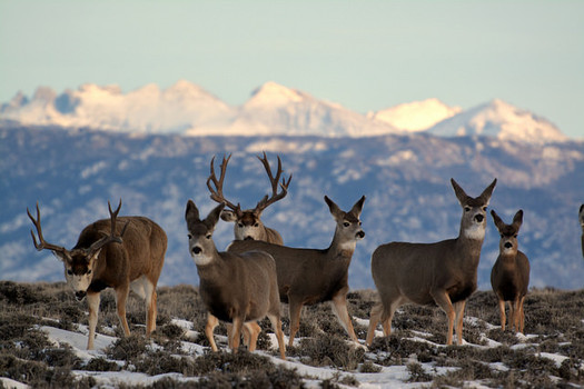 The Wyoming Game and Fish Department is responsible for managing mule deer, but the agency currently does not have a specific policy on the books for protecting the deer's migration corridor. (BLM)