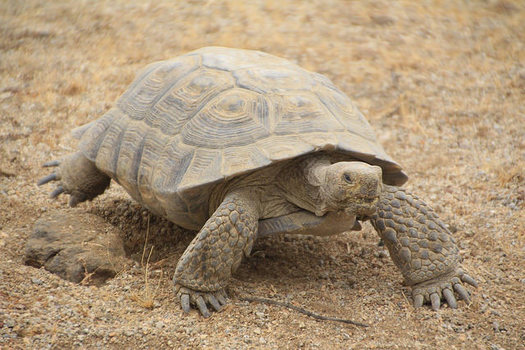 Habitat loss is thought to be one of the biggest factors behind declining desert tortoise populations. (BLM/Flickr)