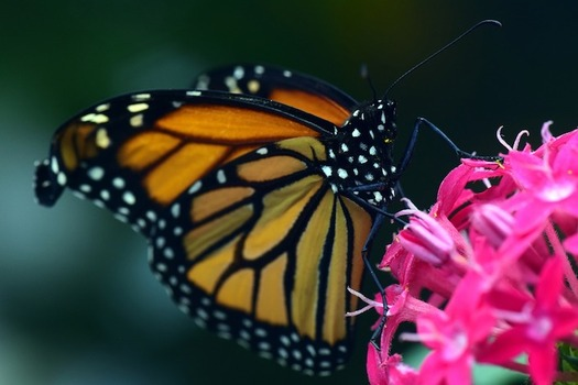 The population of eastern monarch butterflies has decreased by 90 percent in recent decades. (ulleo/Pixabay)