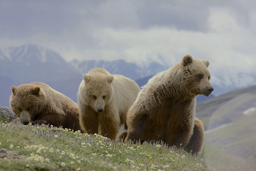 Tribal nations are asking that grizzly bears in areas considered for hunting be relocated to tribal lands with suitable habitat. (Gregory Smith)