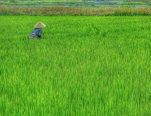About 25 percent of the calories consumed globally come from rice, which is under threat from rising carbon dioxide levels. (Calmuziclover/Flickr)