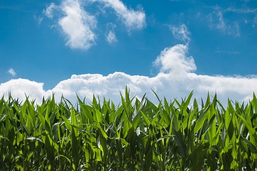 More than half of Wisconsin's top commodities depend on corn. (Pixabay)