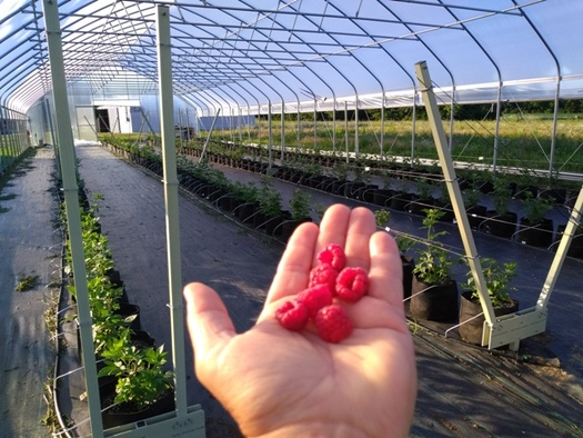 Caroline McColloch of Chez Nous Farm is celebrating her first harvest of organic raspberries. (McColloch)