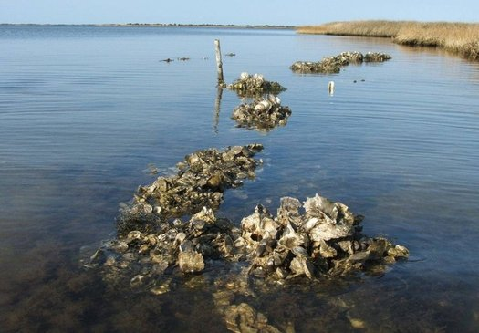 Researchers at the University of Massachusetts believe that if oyster beds once in place in the coastal waters of New York had been there during Hurricane Sandy, much of the damage could have been reduced. (The Nature Conservancy)