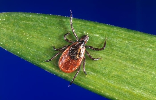 Warmer temperatures have led to increased tick populations and more Lyme disease. (CDC/Wikimedia Commons)