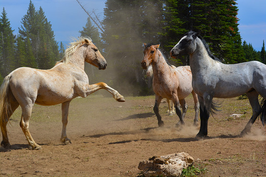 Pryor Mountain wild horses are descendants of horses brought to the North American continent by Spanish conquistadors in the 16th century. (BLM)