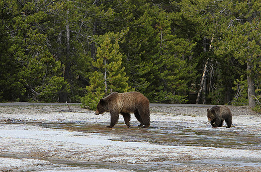 There are about 700 grizzly bears in and around Yellowstone National Park. (Jim Peaco/Yellowstone National Park)