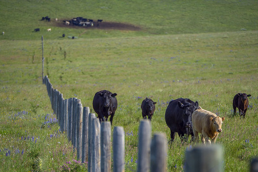 Four meatpacking companies control 85 percent of the beef market, putting the squeeze on independent cattle ranchers. (Preston Keres/USDA)