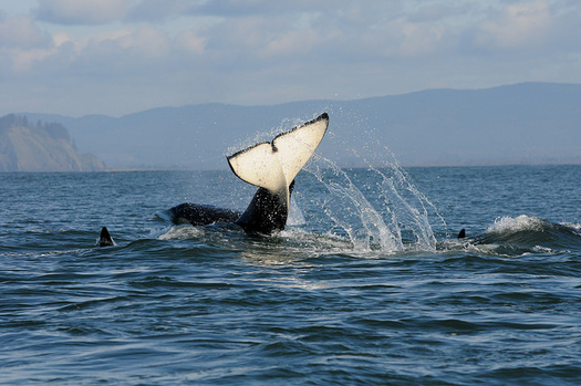 There are 74 Southern Resident orcas in the Northwest, their lowest population in nearly three decades. (Candice Emmons/NOAA)