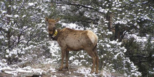 Federal scientists use radio-telemetry collars, such as the one on this elk, to monitor characteristics of healthy herds. (National Park Service)