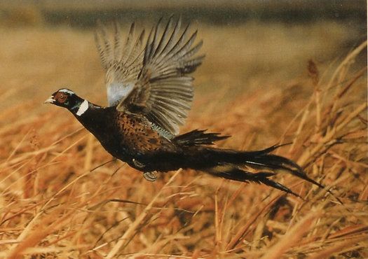 Pheasants, deer, greater prairie chicken, turkeys, butterflies and bees are often attracted to farm land set aside in the Conservation Reserve Program.(somoag.org)