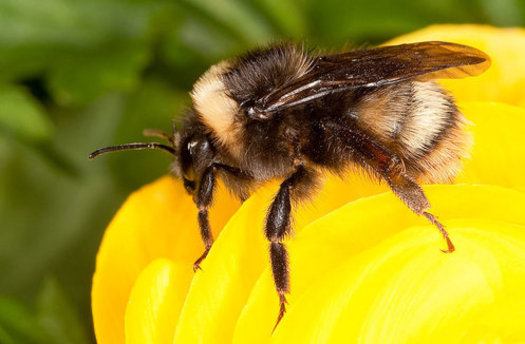 The western bee, formerly one of the most widespread native bees, has lost 84 percent of its historic population. (Stephen Ausmus USDA/ARS)