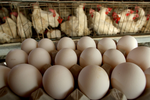 A law passed by Californians earlier this month will dictate how egg producers in other states raise their chickens if they want to sell their eggs in the Golden State. (scpr.org)