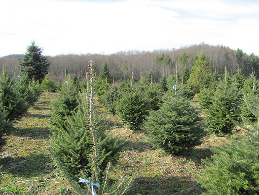 According to the Virginia Christmas Tree Growers Association, it can take as many as 15 years to grow a Christmas tree, but the average growing time is 7 years. (Ed Kennedy/Flickr)