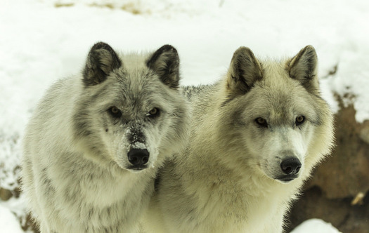 A wildlife biologist says wolves and other large predators have an innate ability to find diseased prey in herds. (Tupulak/Flickr)