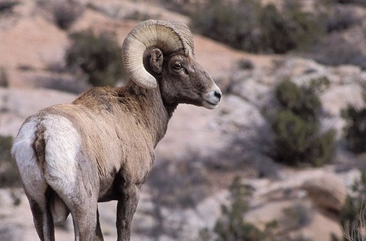 Biologists are concerned that a wall constructed along the U.S.-Mexico border could disrupt migration routes for wildlife, including bighorn sheep that populate Big Bend National Park. (National Park Service)