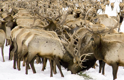 Conservation groups say artificially feeding elk in the winter can increase the spread of fatal conditions such as chronic wasting disease. (U.S. Fish and Wildlife Service)