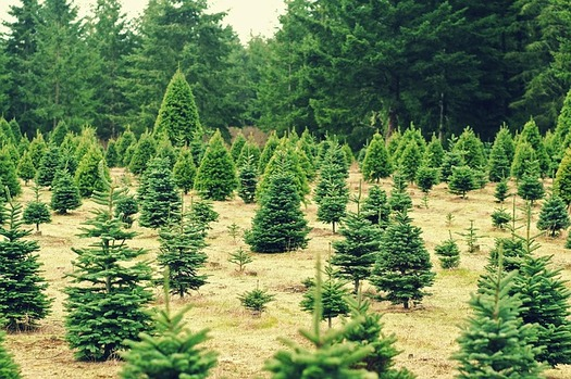 The primary species of Christmas trees grown in Maryland are Scotch Pine, White Pine, Blue Spruce and three fir species: Douglas, Fraser and Canaan. (LloydTheVoid/Pixabay)