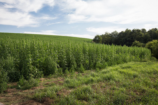 Wisconsin has the seventh most hemp-planted land in the country. (Maja Dumat/Flickr)