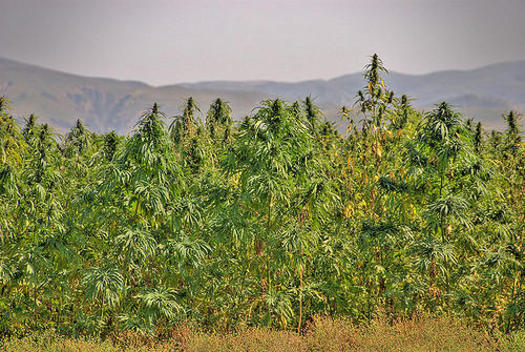 Hemp cultivation, which will soon be legal under the 2018 Farm Bill, was once abundantly grown across the U.S until its production was outlawed in 1937. (ksjd.org)