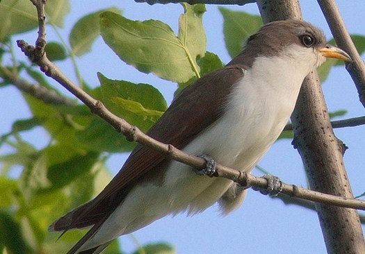 Colorado's western yellow-billed cuckoo is considered to be at greater risk of extinction because the U.S. Interior Department has not yet designated critical habitat protections. (NPS)