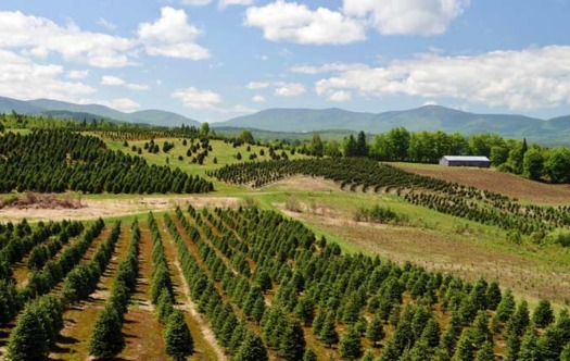 Weir Tree Farms in New Hampshire was one of many Christmas tree farms affected by extreme weather this year. (Weir Tree Farms)