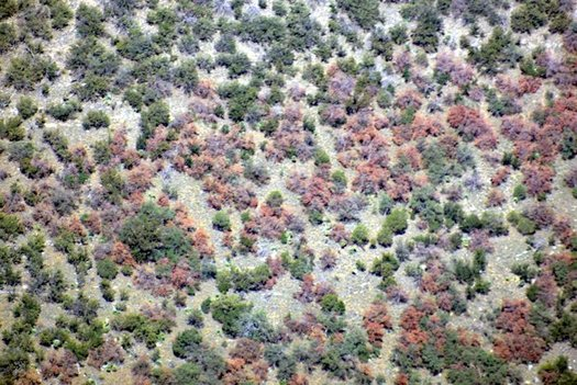 Aerial surveys show major damage to piñon pines on the Huachuca Mountains inside the Fort Huachuca military installation in southeast Arizona. (U.S. Forest Service)