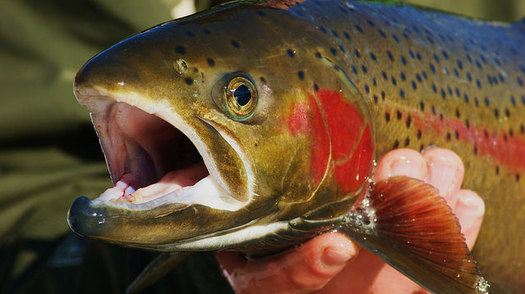 The ongoing government shutdown is delaying a key permit needed to keep steelhead season open in Idaho. (Ryndon Ricks/Flickr)