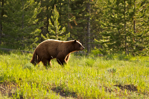 There were 65 reported grizzly bear deaths in 2018. (H. Michael Miley/Flickr)