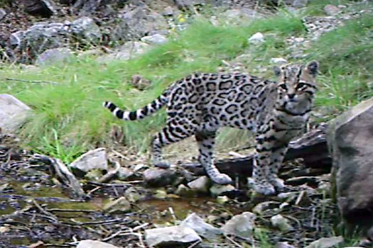 A rare Sonoran ocelot was photographed by a remote camera recently in southeastern Arizona. (ConservationCATalyst)