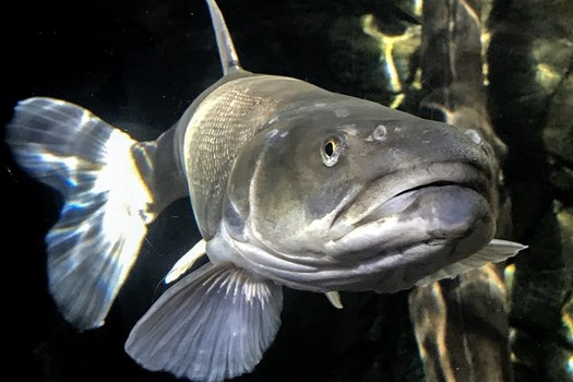 The Colorado pikeminnow is one of the endangered fish species threatened by oil-shale development in the Uintah Basin. (TaylorMcKinnon/Center for Biological Diversity)