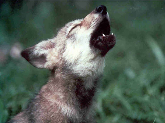 Wildlife biologists point to the reintroduction of wolves in the Greater Yellowstone ecosysten as one reason ecological balance has been restored in the region, including the resurgence of willows, cottonwoods and songbirds. (Pixabay)