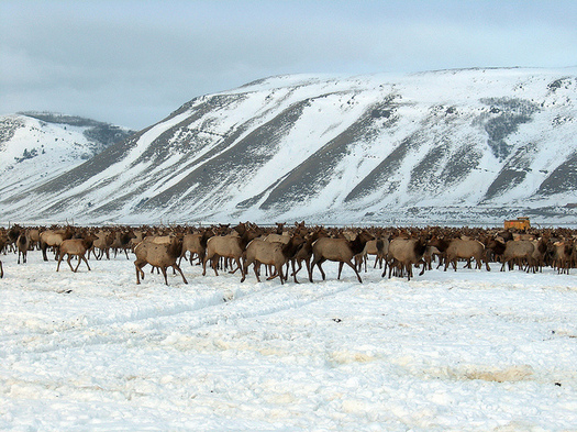 Concern is growing that artificially feeding elk on the National Elk Refuge could become a catalyst for chronic wasting disease in the Mountain West. (Diane Borgreen/USFWS)