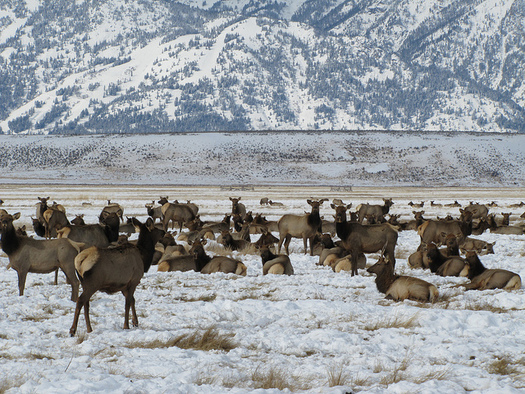 More than 20,000 elk have access to the feedlots at the National Elk Refuge in the winter. (Lori Iverson/USFWS)
