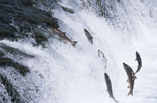 Salmon populations in the Northwest continue to spiral downward. (biker3/Adobe Stock)
