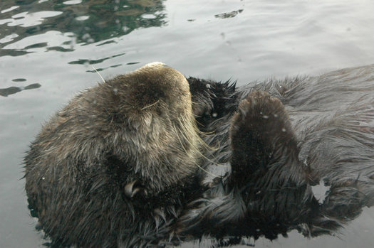 A judge cited the need to protect the California sea otter in his refusal to lift a moratorium on offshore fracking at existing wells. (kconnors/Morguefile)