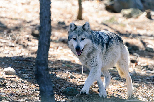 Since federal protections for wolves were lifted in Idaho, Montana and Wyoming in 2011, wildlife advocates say trophy hunters and trappers have killed some 3,000 wolves. (Eric Kilby/Wikimedia Commons)