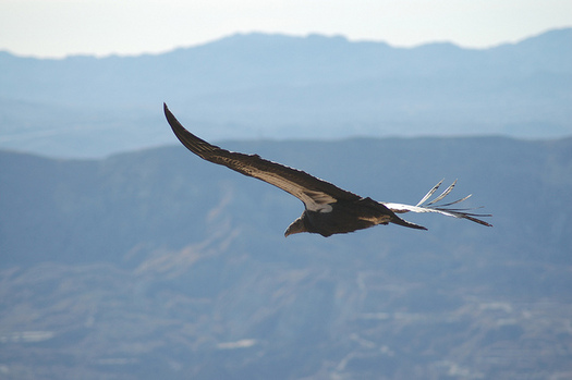 Condors once were almost extinct, but now, an estimated 290 birds fly free in California and Mexico. (U.S. Fish and Wildlife Service)